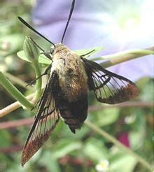 Hemaris - Wikipedia