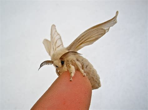 "Puppet the Silkworm Moth | Or newest ""pet"" Puppet on my"