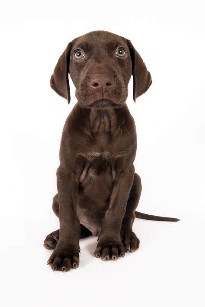 All brown german shorthaired pointer