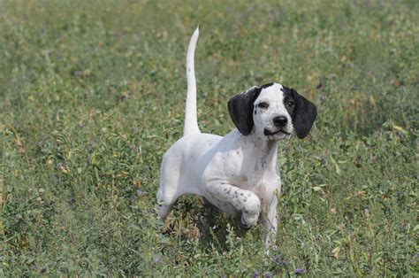 Pointer Breed Guide - Learn about the Pointer