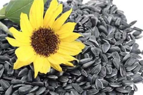 Imported sunflower seeds to be tested for dangerous