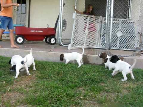 English Pointer Puppy Day 1 - YouTube